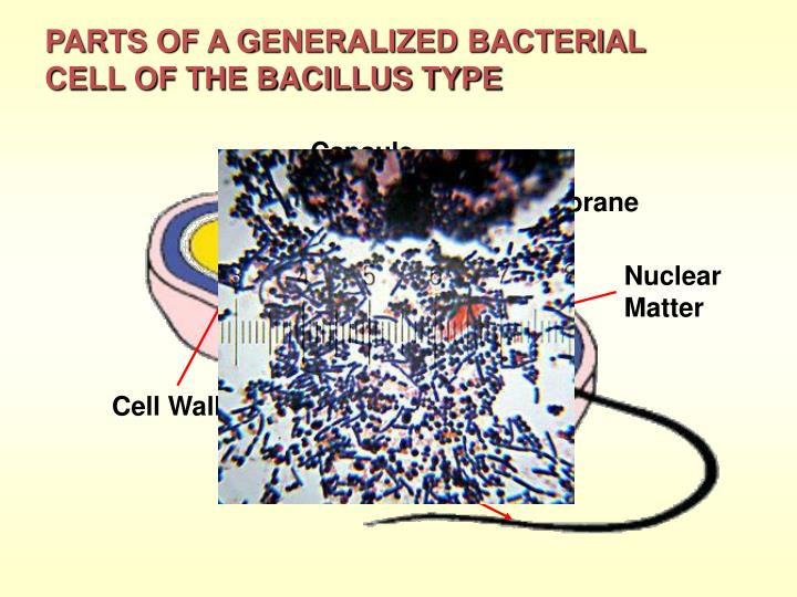 PARTS OF A GENERALIZED BACTERIAL CELL OF THE BACILLUS TYPE