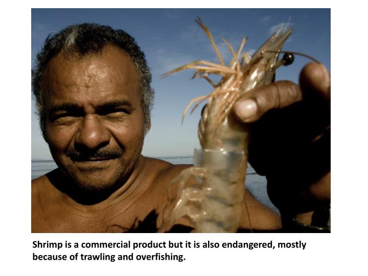 Shrimp is a commercial product but it is also endangered, mostly because of trawling and overfishing.
