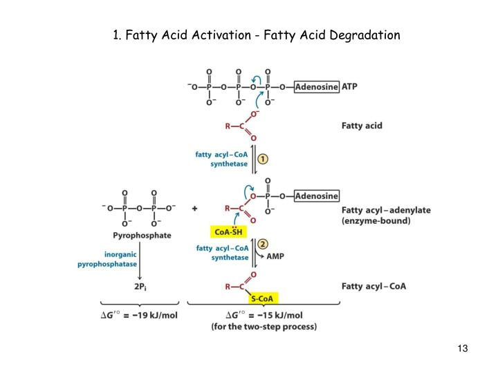 1. Fatty Acid Activation - Fatty Acid Degradation