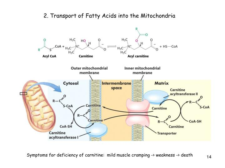 2. Transport of Fatty Acids into the Mitochondria
