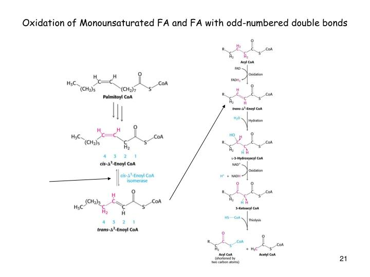Oxidation of Monounsaturated FA and FA with odd-numbered double bonds