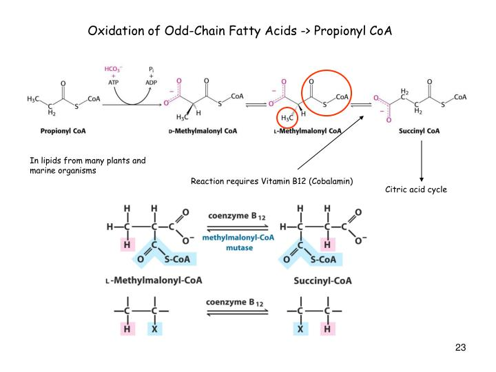 Oxidation of Odd-Chain Fatty Acids -> Propionyl CoA