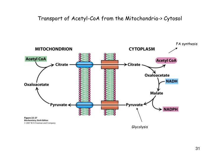 Transport of Acetyl-CoA from the Mitochondria-> Cytosol