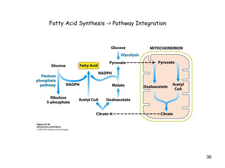 Fatty Acid Synthesis -> Pathway Integration