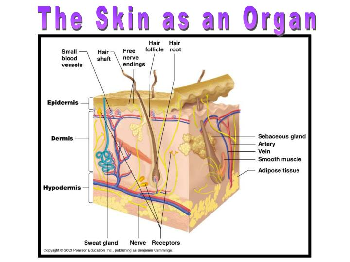 The Skin as an Organ