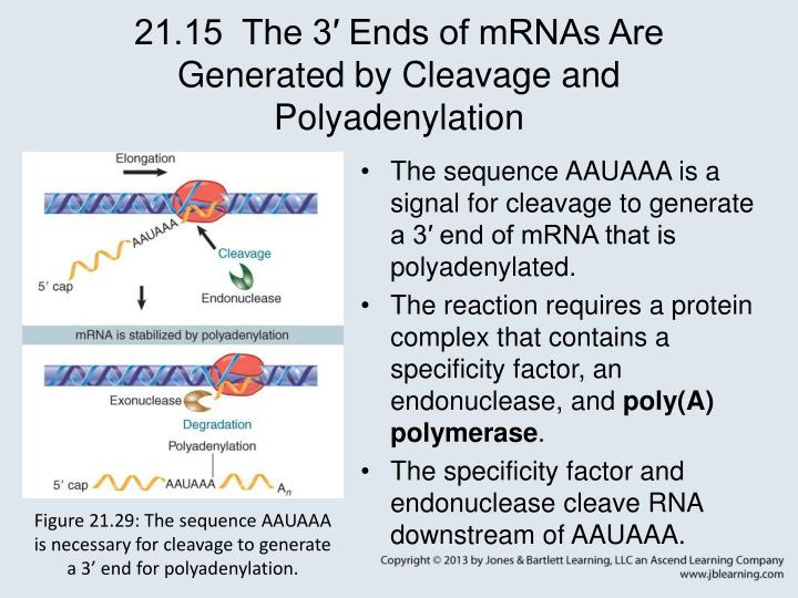 21.15  The 3′ Ends of mRNAs Are Generated by Cleavage and Polyadenylation