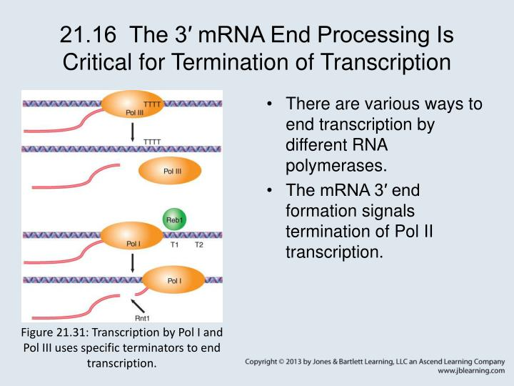 21.16  The 3′ mRNA End Processing Is Critical for Termination of Transcription