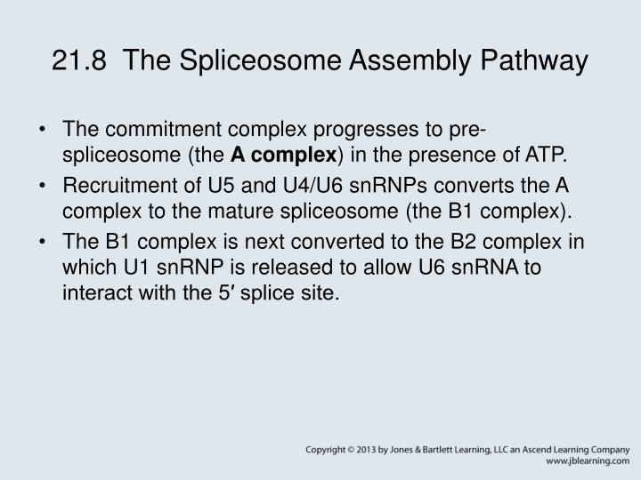 21.8  The Spliceosome Assembly Pathway