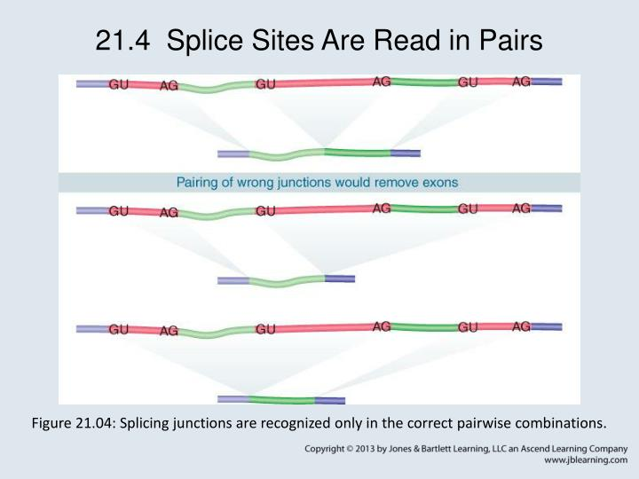 21.4  Splice Sites Are Read in Pairs