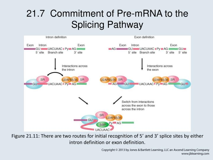 21.7  Commitment of Pre-mRNA to the Splicing Pathway