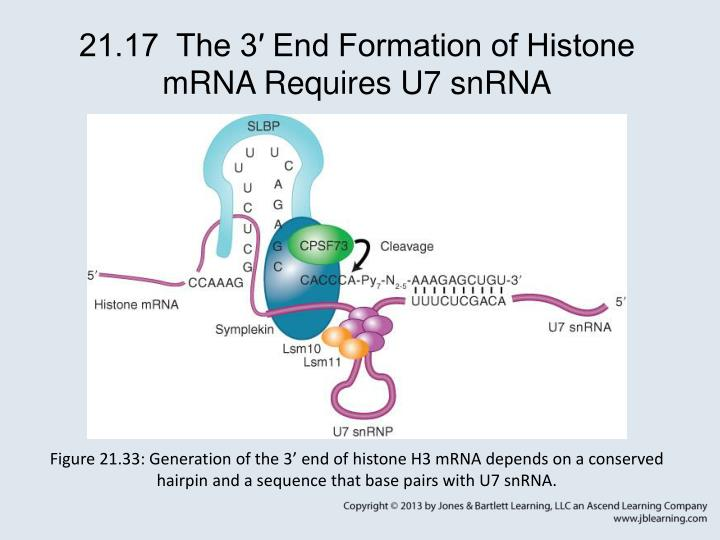 21.17  The 3′ End Formation of Histone mRNA Requires U7 snRNA