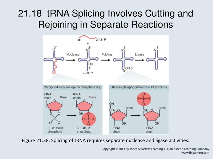 21.18  tRNA Splicing Involves Cutting and Rejoining in Separate Reactions