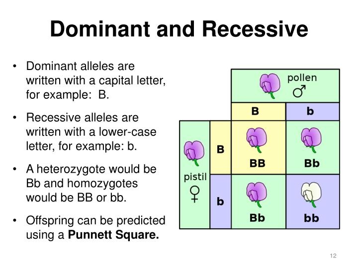 """Dominant Recessive PPT - The """" Wolfman ..."""