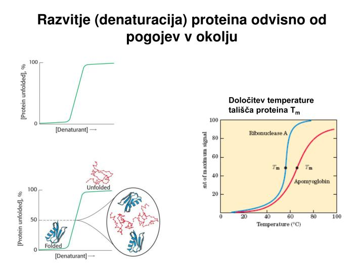 Razvitje (denaturacija) proteina odvisno od pogojev v okolju