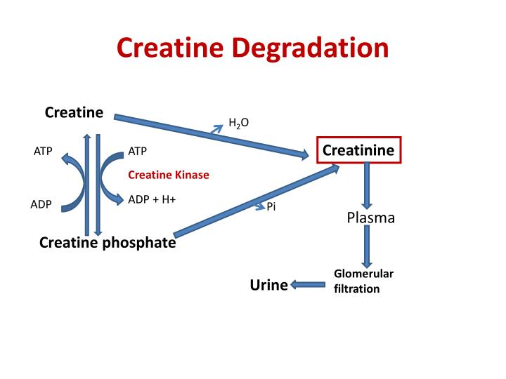 Creatine Degradation