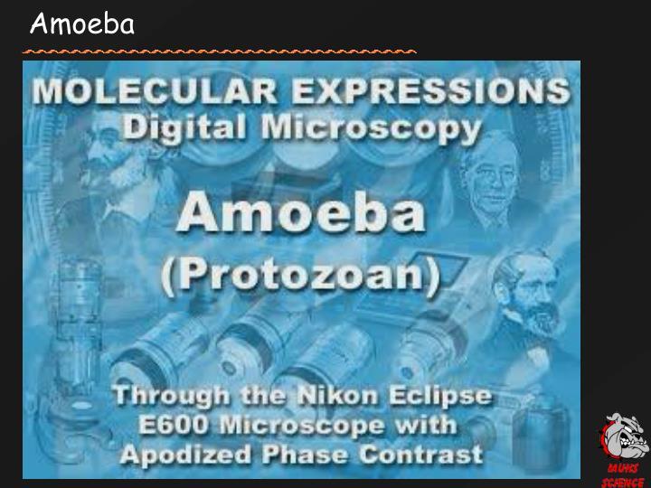 Amoeba
