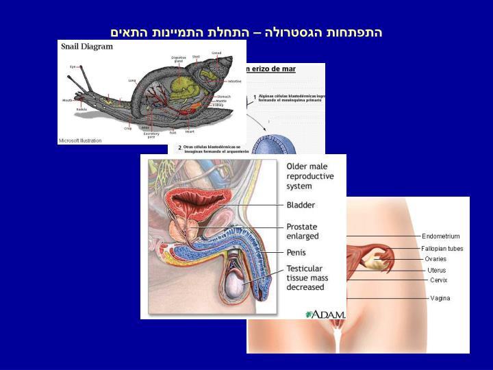 התפתחות הגסטרולה – התחלת התמיינות התאים