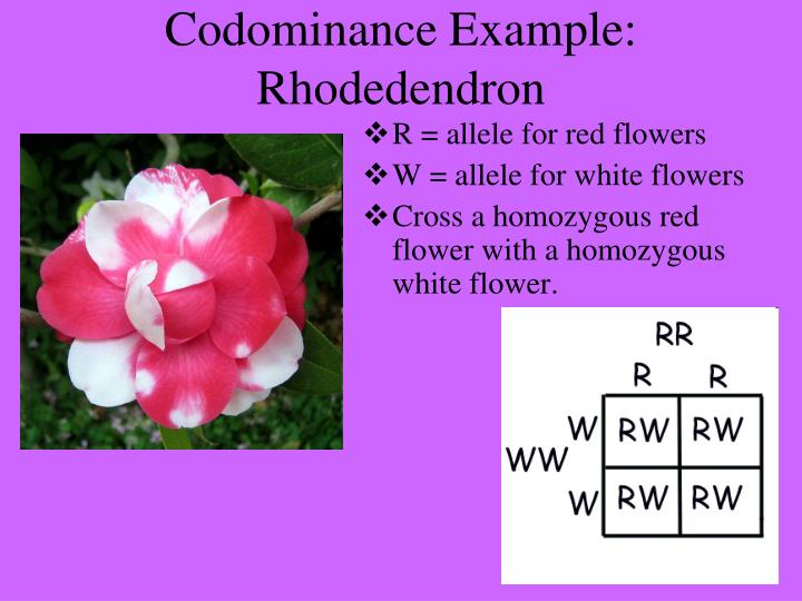 Codominance Example: Rhodedendron