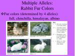 multiple alleles rabbit fur colors