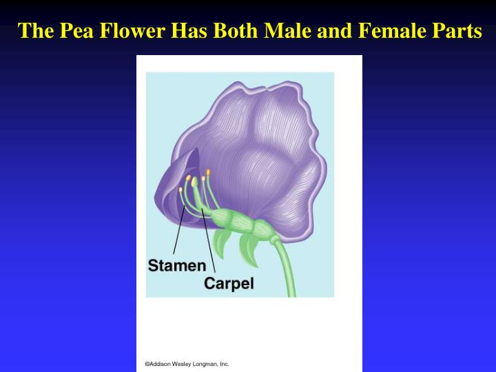 The Pea Flower Has Both Male and Female Parts