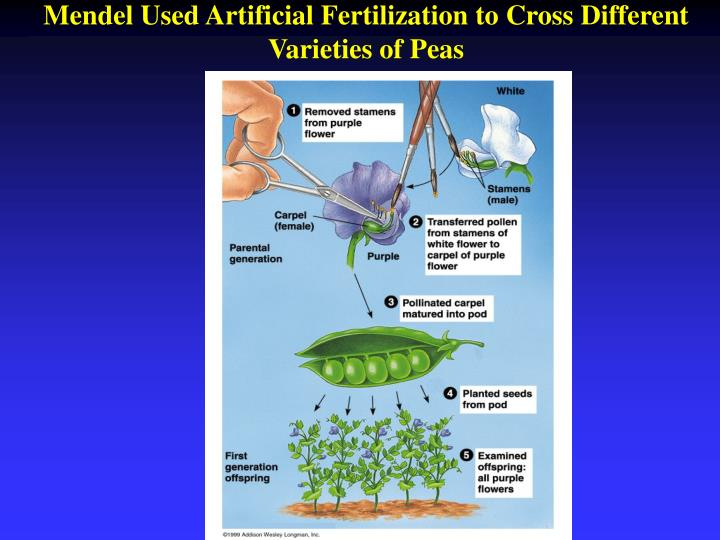 Mendel Used Artificial Fertilization to Cross Different