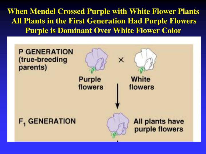 When Mendel Crossed Purple with White Flower Plants