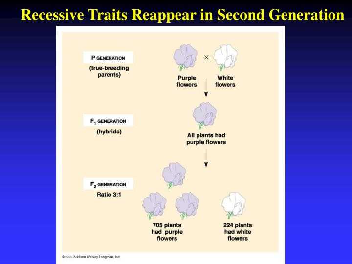 Recessive Traits Reappear in Second Generation