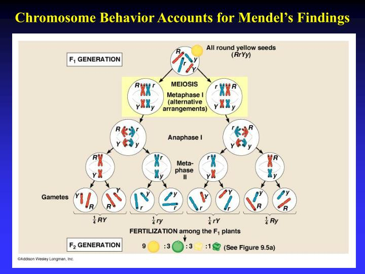 Chromosome Behavior Accounts for Mendel's Findings