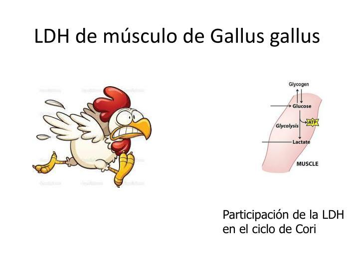 LDH de músculo de
