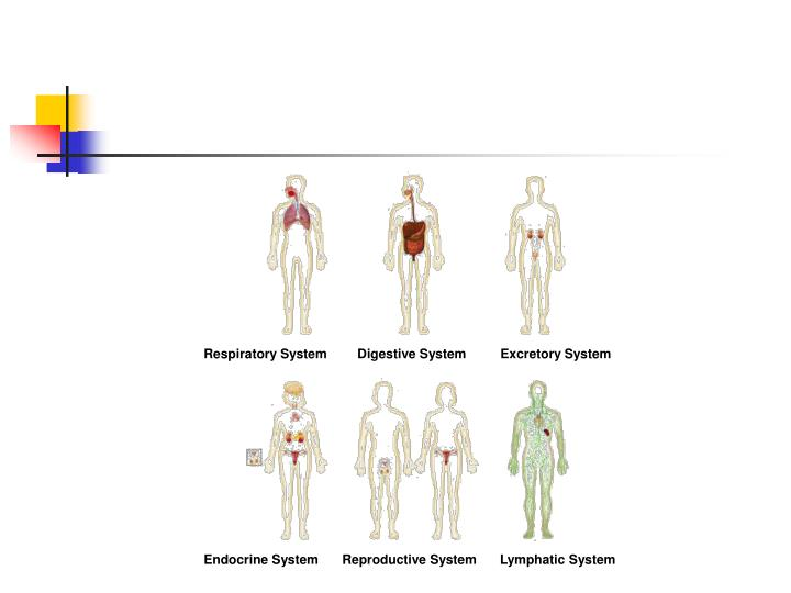 Figure 35-2 Human Organ Systems