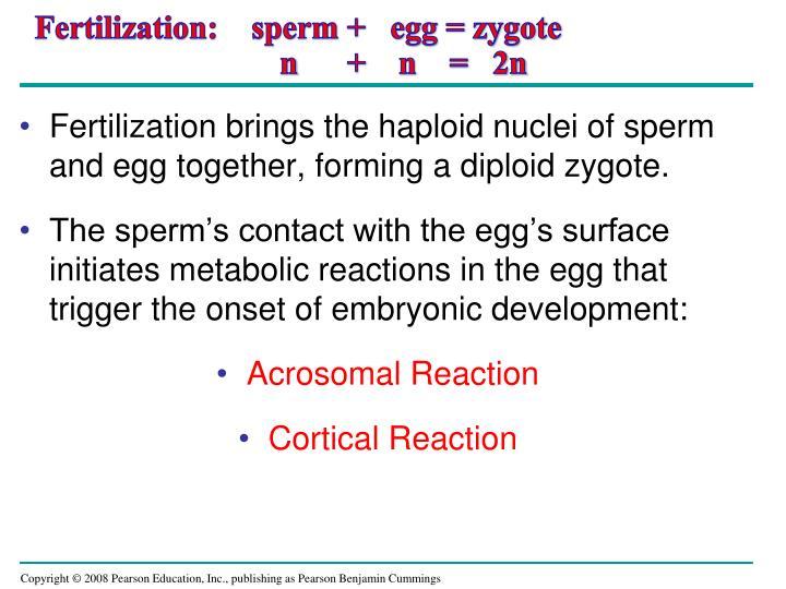 Fertilization:    sperm +   egg = zygote