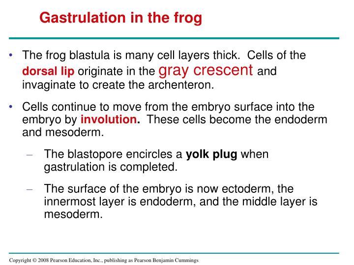 Gastrulation in the frog