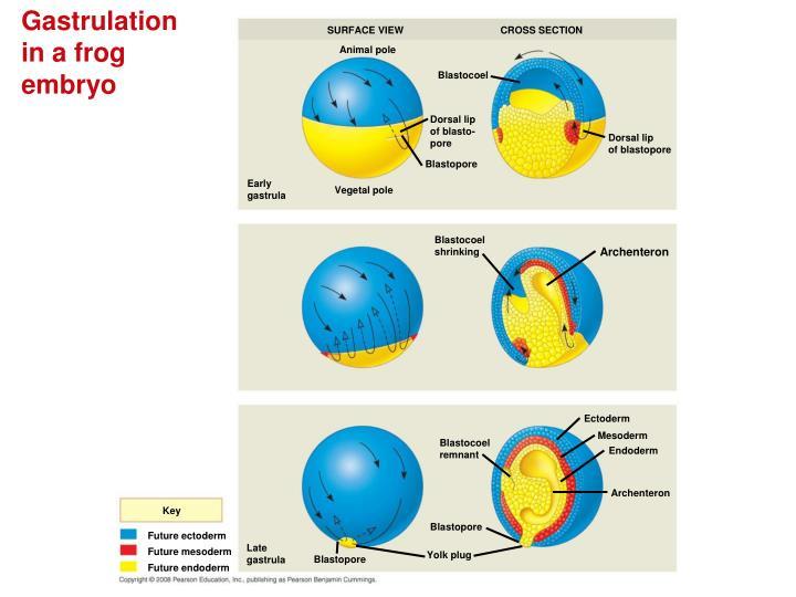 Gastrulation in a frog embryo