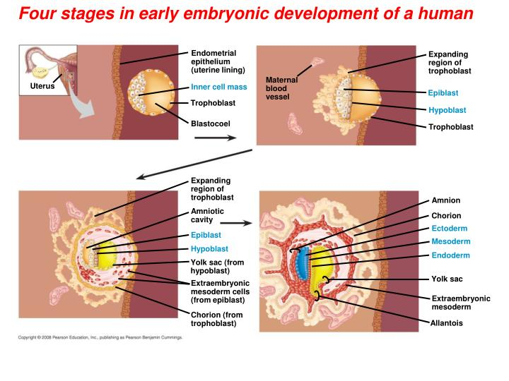 Four stages in early embryonic development of a human