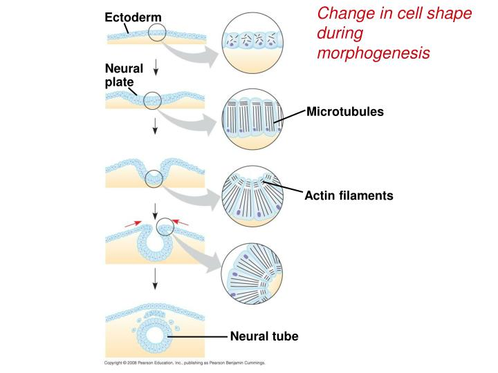 Change in cell shape during morphogenesis