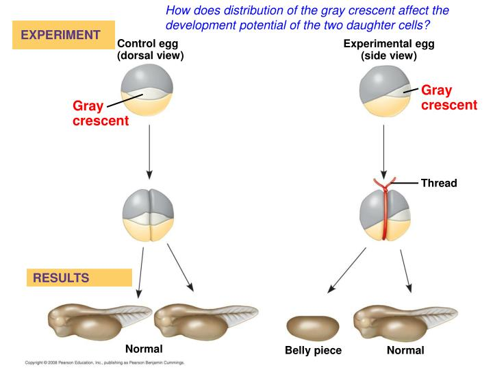 How does distribution of the gray crescent affect the development potential of the two daughter cells?
