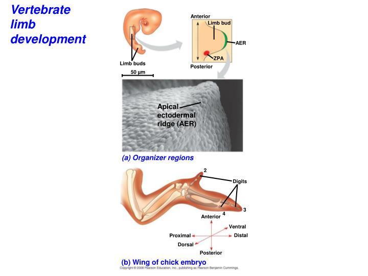 Vertebrate limb development