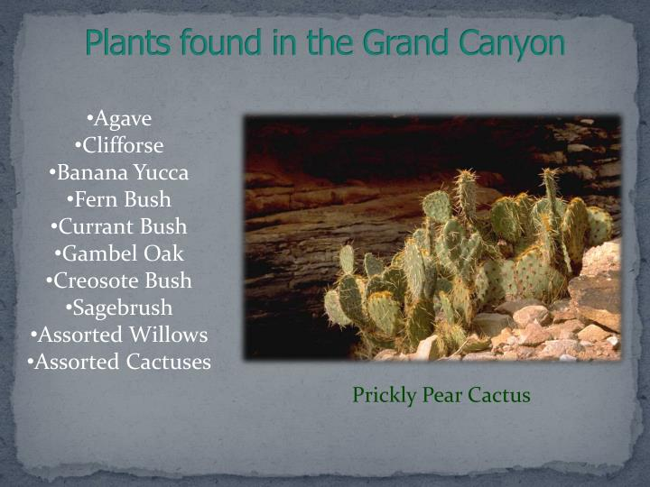 Plants found in the Grand Canyon
