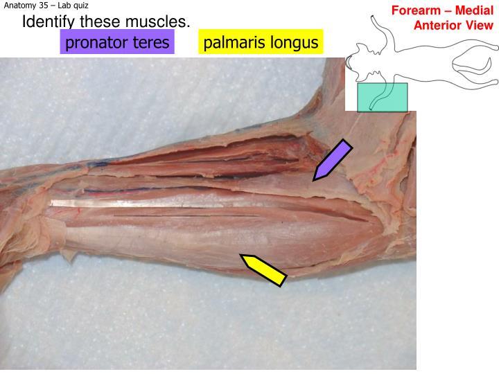 Forearm – Medial