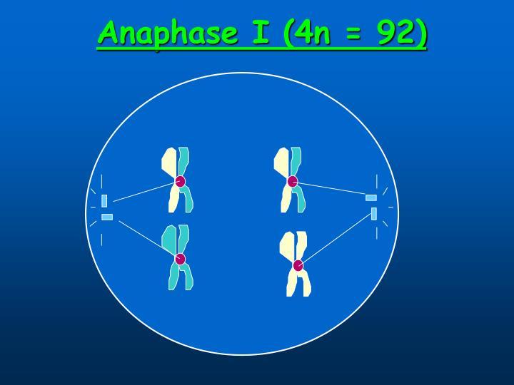 Anaphase I (4n = 92)