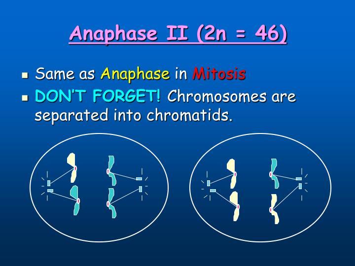 Anaphase II (2n = 46)