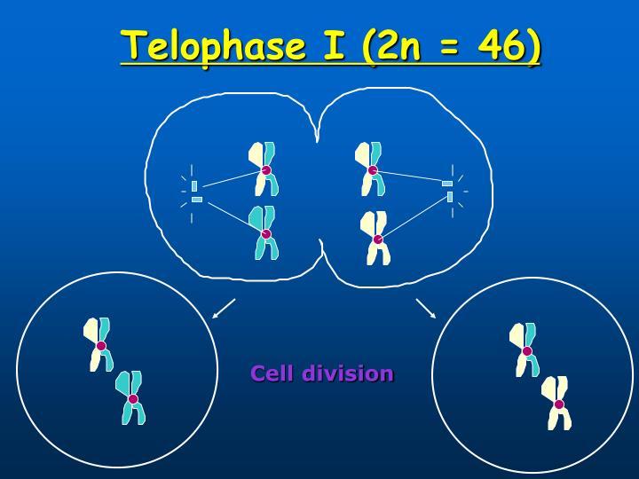 Telophase I (2n = 46)