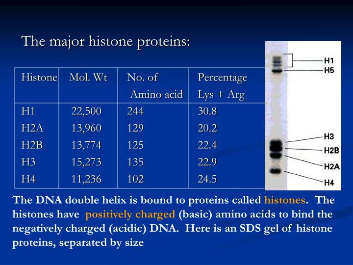 The major histone proteins: