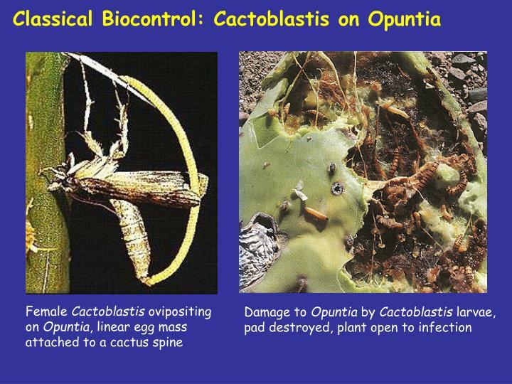 Classical Biocontrol: Cactoblastis on Opuntia