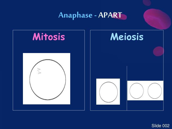 Anaphase -