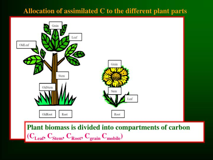 Allocation of assimilated C to the different plant parts