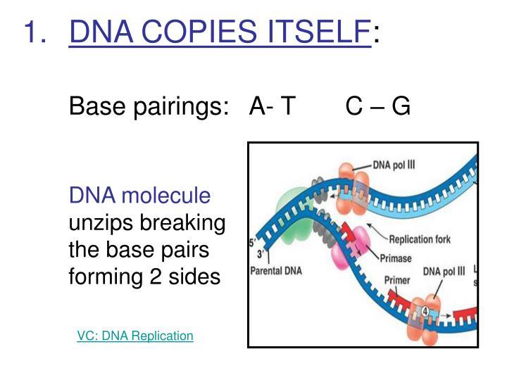 DNA COPIES ITSELF