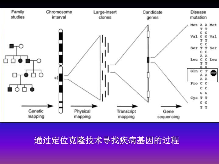 通过定位克隆技术寻找疾病基因的过程