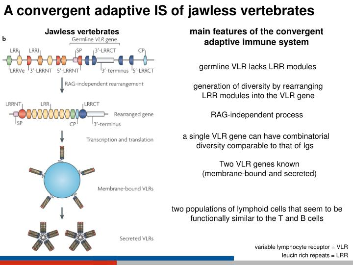 A convergent adaptive IS of jawless vertebrates