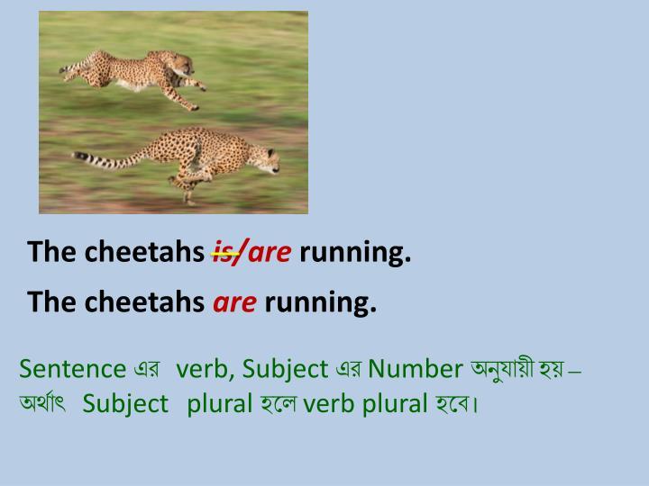 The cheetahs